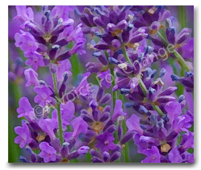 Lavender is a magical cure for many ailments